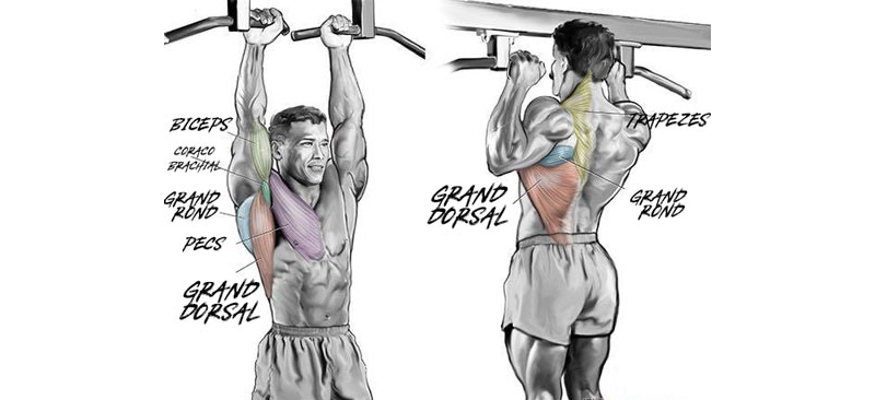 Quels muscles font travailler les tractions ?